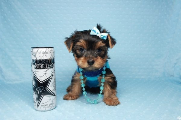 Santa's Little Helper - Teacup Yorkie Puppy has found a good loving home with Diana from Las Vegas, NV 89166.-0