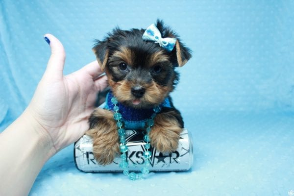 Santa's Little Helper - Teacup Yorkie Puppy has found a good loving home with Diana from Las Vegas, NV 89166.-26445