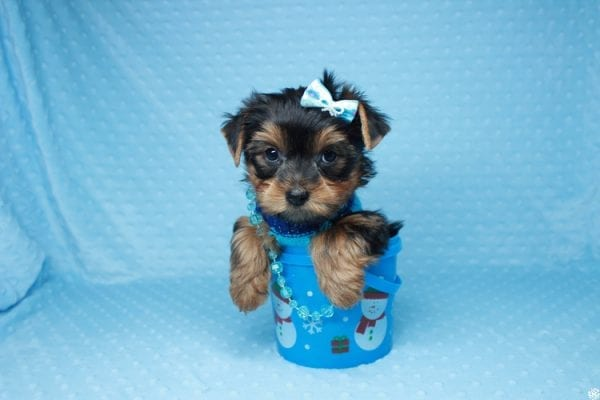 Santa's Little Helper - Teacup Yorkie Puppy has found a good loving home with Diana from Las Vegas, NV 89166.-26446
