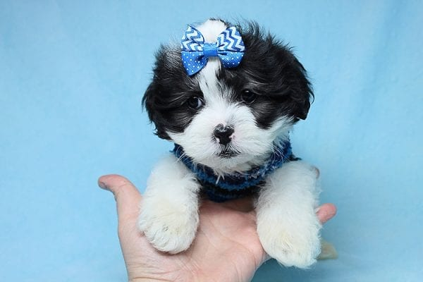 Sapporo - Teacup Malshi Puppy has found a good loving home with Isabel from Encino, CA 91316-27456
