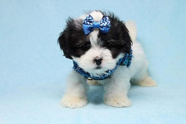 Sapporo - Teacup Malshi Puppy has found a good loving home with Isabel from Encino, CA 91316-27460