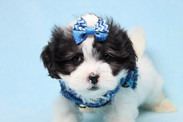 Sapporo - Teacup Malshi Puppy has found a good loving home with Isabel from Encino, CA 91316-27461