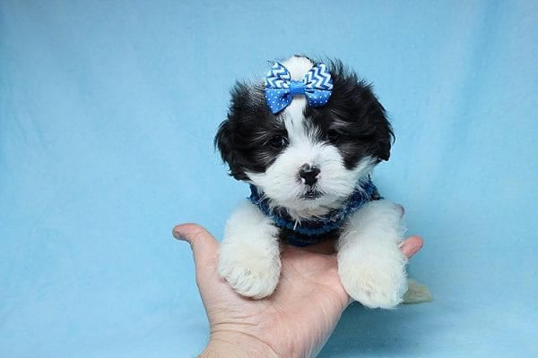 Sapporo - Teacup Malshi Puppy has found a good loving home with Isabel from Encino, CA 91316-27455