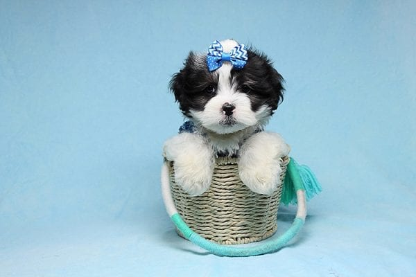 Sapporo - Teacup Malshi Puppy has found a good loving home with Isabel from Encino, CA 91316-0