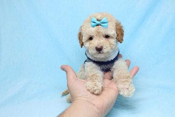 Simba - Teacup Maltipoo Puppy has found a good loving home with Vincent from Las Vegas, NV 89128.-26651