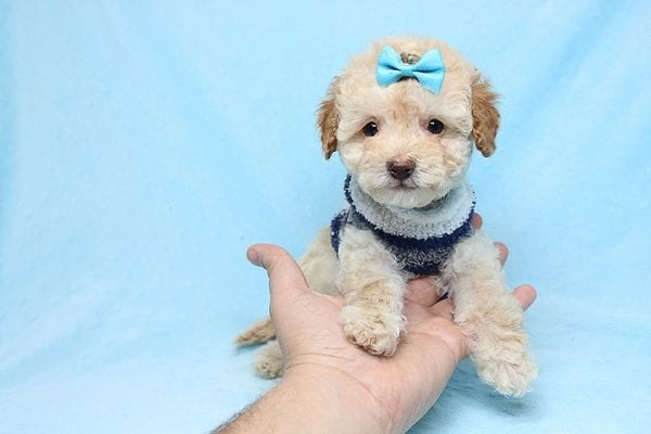 Simba - Teacup Maltipoo Puppy has found a good loving home with Vincent from Las Vegas, NV 89128.-26655