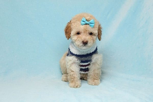 Simba - Teacup Maltipoo Puppy has found a good loving home with Vincent from Las Vegas, NV 89128.-26658