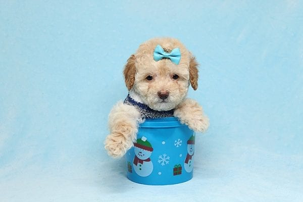 Simba - Teacup Maltipoo Puppy has found a good loving home with Vincent from Las Vegas, NV 89128.-26659