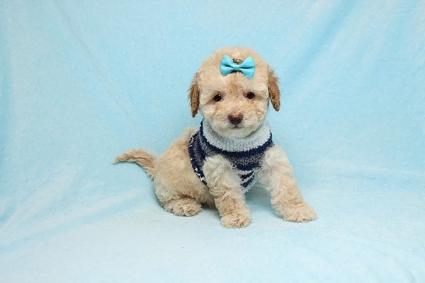 Simba - Teacup Maltipoo Puppy has found a good loving home with Vincent from Las Vegas, NV 89128.-26650
