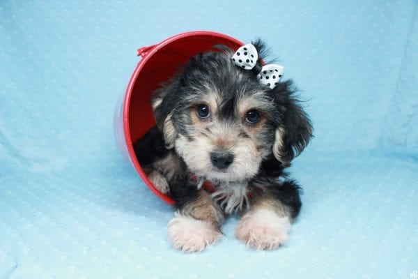 Stocking Stuffer - Toy Morkie puppy has found a good loving home with Natalie from Las Vegas, NV 89166-0