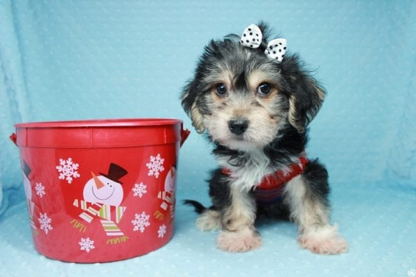 Stocking Stuffer - Toy Morkie puppy has found a good loving home with Natalie from Las Vegas, NV 89166-26429