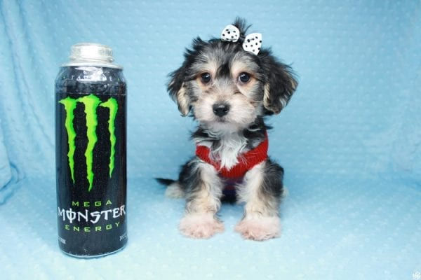 Stocking Stuffer - Toy Morkie puppy has found a good loving home with Natalie from Las Vegas, NV 89166-26426