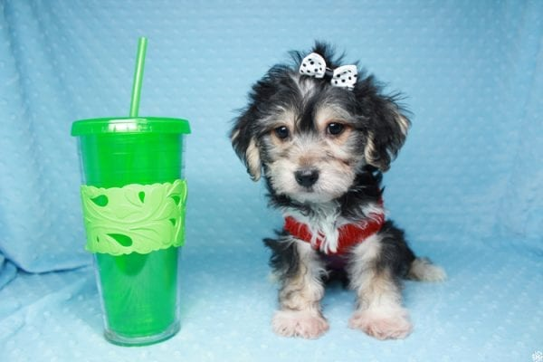 Stocking Stuffer - Toy Morkie puppy has found a good loving home with Natalie from Las Vegas, NV 89166-26427