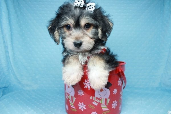 Stocking Stuffer - Toy Morkie puppy has found a good loving home with Natalie from Las Vegas, NV 89166-26428