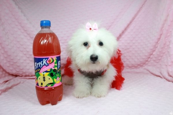 Sunshine - Teacup Maltipoo Puppy has found a good loving home with Mary from Yontville, CA 94599-0