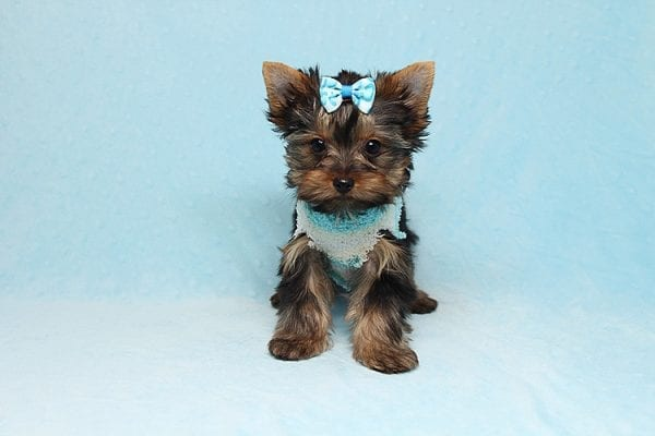 Twitter - Tiny Teacup Yorkie Found His New Loving Home with Jessica from Redondo Beach CA 90277-26508