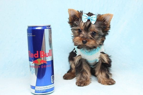 Twitter - Tiny Teacup Yorkie Found His New Loving Home with Jessica from Redondo Beach CA 90277-26516