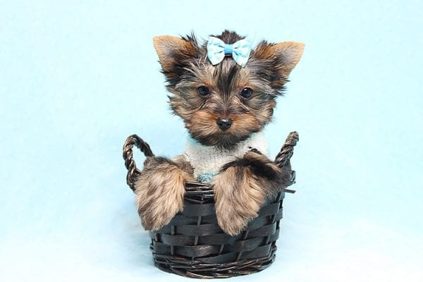 Twitter - Tiny Teacup Yorkie Found His New Loving Home with Jessica from Redondo Beach CA 90277-26517
