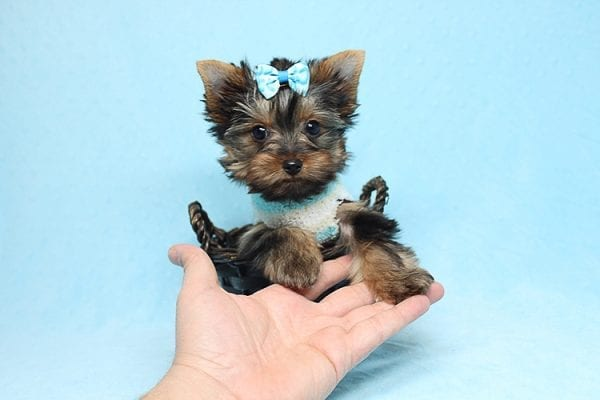 Twitter - Tiny Teacup Yorkie Found His New Loving Home with Jessica from Redondo Beach CA 90277-26518