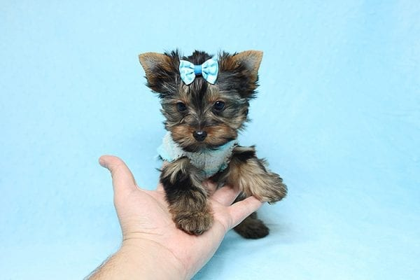 Twitter - Tiny Teacup Yorkie Found His New Loving Home with Jessica from Redondo Beach CA 90277-26507