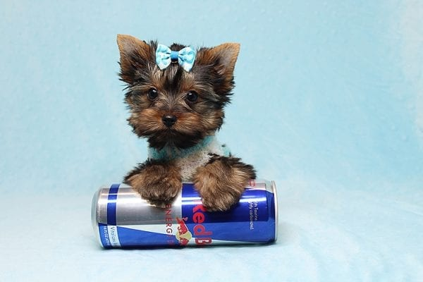 Twitter - Tiny Teacup Yorkie Found His New Loving Home with Jessica from Redondo Beach CA 90277-26509