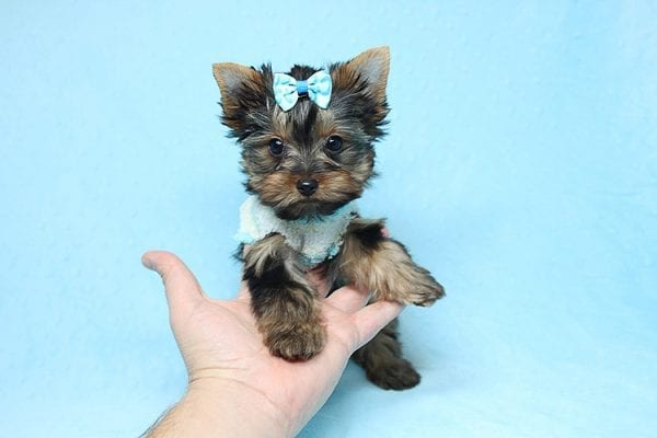 Twitter - Tiny Teacup Yorkie Found His New Loving Home with Jessica from Redondo Beach CA 90277-0