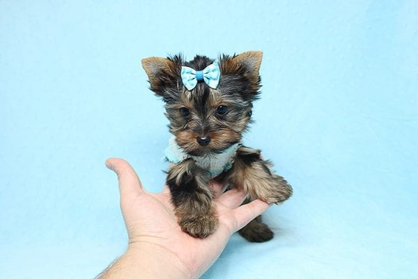 Twitter - Tiny Teacup Yorkie Found His New Loving Home with Jessica from Redondo Beach CA 90277-26513