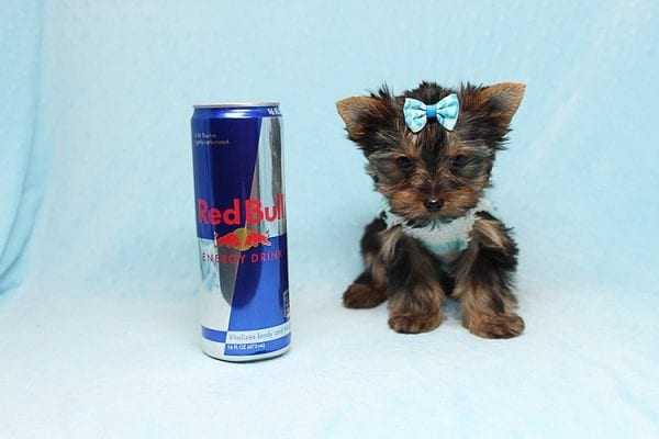 Twitter - Tiny Teacup Yorkie Found His New Loving Home with Jessica from Redondo Beach CA 90277-26514