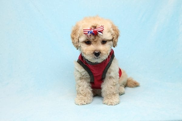 Dasher - Toy Poodle Puppy Found His New Loving Home with Vakhara From Los Angeles CA 90056-26521