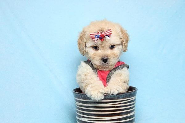 Dasher - Toy Poodle Puppy Found His New Loving Home with Vakhara From Los Angeles CA 90056-26519