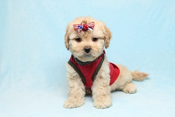 Dasher - Toy Poodle Puppy Found His New Loving Home with Vakhara From Los Angeles CA 90056-26522
