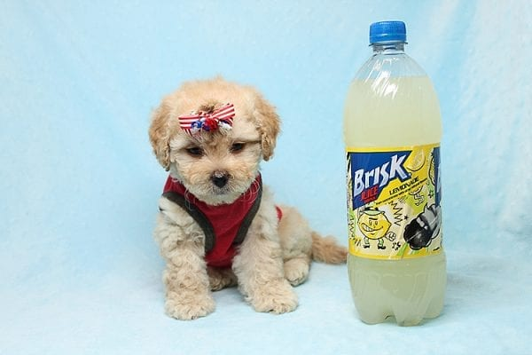 Dasher - Toy Poodle Puppy Found His New Loving Home with Vakhara From Los Angeles CA 90056-0
