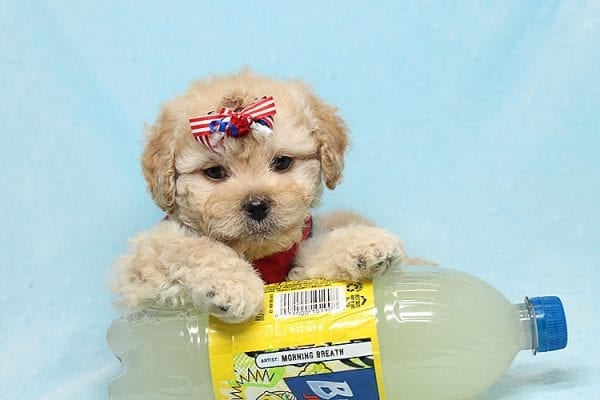 Dasher - Toy Poodle Puppy Found His New Loving Home with Vakhara From Los Angeles CA 90056-26525