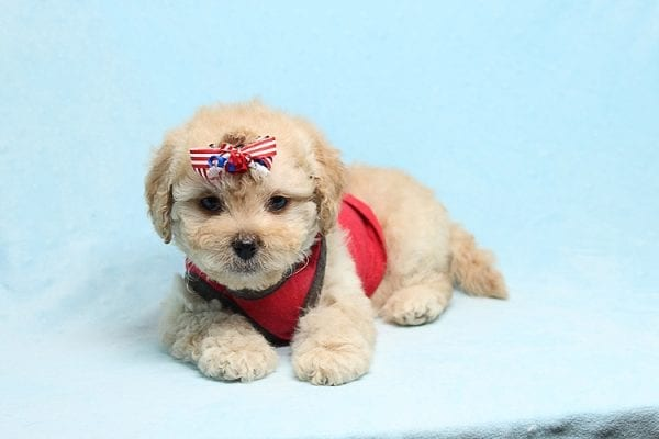 Dasher - Toy Poodle Puppy Found His New Loving Home with Vakhara From Los Angeles CA 90056-26526