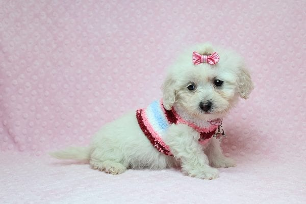 Sunshine - Teacup Maltipoo Puppy has found a good loving home with Mary from Yontville, CA 94599-26603