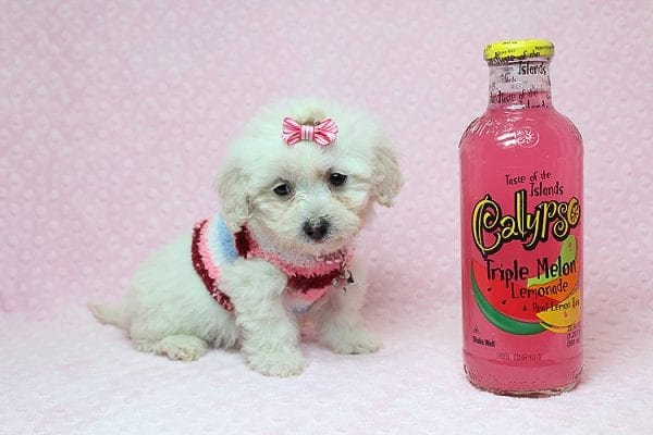 Sunshine - Teacup Maltipoo Puppy has found a good loving home with Mary from Yontville, CA 94599-26605