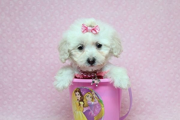 Sunshine - Teacup Maltipoo Puppy has found a good loving home with Mary from Yontville, CA 94599-26604