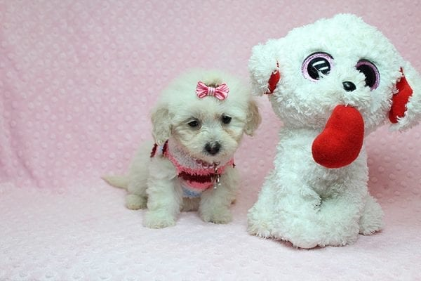 Sunshine - Teacup Maltipoo Puppy has found a good loving home with Mary from Yontville, CA 94599-26606