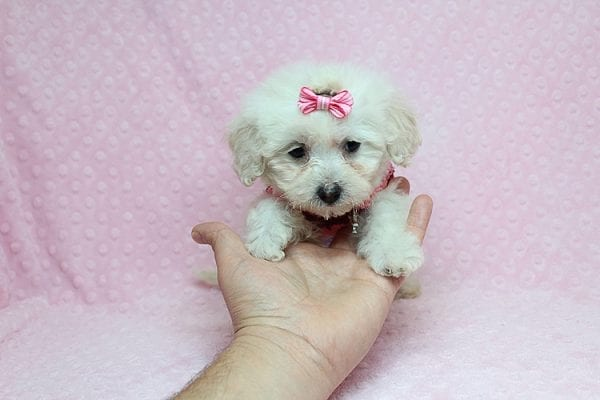 Sunshine - Teacup Maltipoo Puppy has found a good loving home with Mary from Yontville, CA 94599-26608