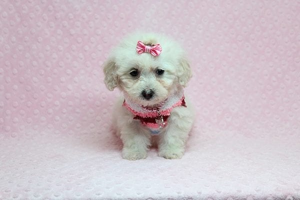 Sunshine - Teacup Maltipoo Puppy has found a good loving home with Mary from Yontville, CA 94599-26609