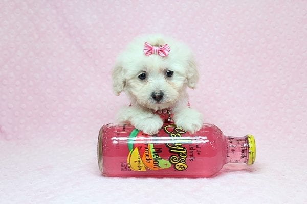 Sunshine - Teacup Maltipoo Puppy has found a good loving home with Mary from Yontville, CA 94599-26610