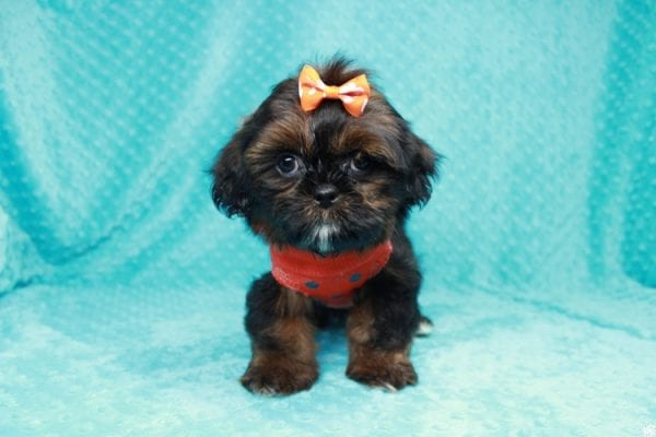 Alvin - Teacup Shih-tzu puppy has found a good loving home with Mercedes from Las Vegas, NV 89139-27012