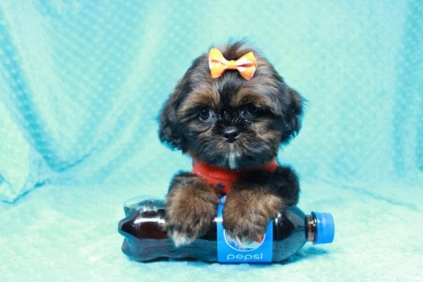 Alvin - Teacup Shih-tzu puppy has found a good loving home with Mercedes from Las Vegas, NV 89139-0