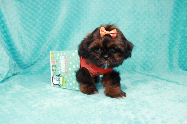 Alvin - Teacup Shih-tzu puppy has found a good loving home with Mercedes from Las Vegas, NV 89139-27017
