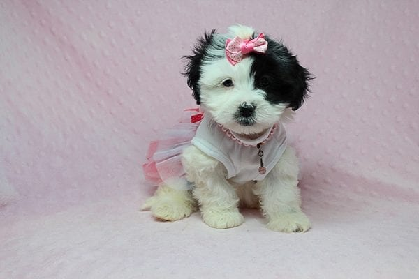 Chapati - Teacup Malshi Puppy has found a good loving home with Miraya from Goleta, CA 93117-27441