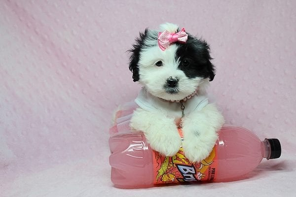 Chapati - Teacup Malshi Puppy has found a good loving home with Miraya from Goleta, CA 93117-0
