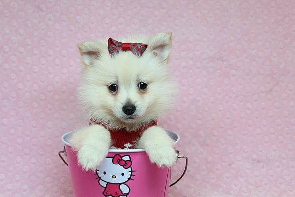 Chloe - Toy Pomeranian Puppy found Her New Loving Home with Lilly from Woodland Hills CA 91364-0
