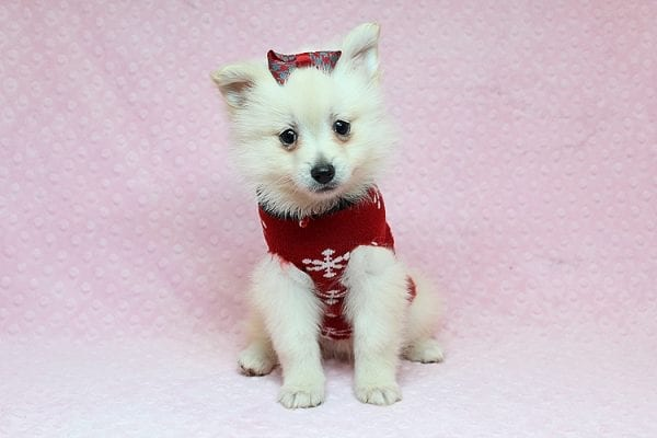 Chloe - Toy Pomeranian Puppy found Her New Loving Home with Lilly from Woodland Hills CA 91364-26821