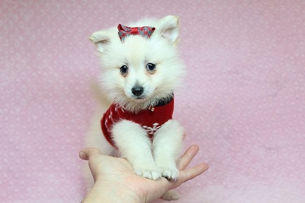 Chloe - Toy Pomeranian Puppy found Her New Loving Home with Lilly from Woodland Hills CA 91364-26823