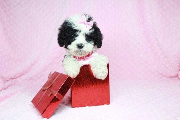 Cookies 'N' Cream - Teacup Maltipoo Puppy has found a good loving home with Jason from Clovis, CA 93619-27027